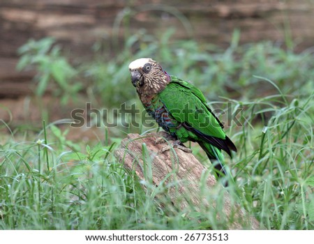 Hawk-headed Parrot also known as Red-fan Parrot