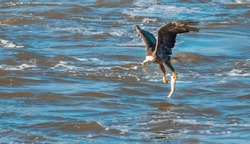 Hawk hunting fish, hawk with fish in its claws, Eagle hunting fish