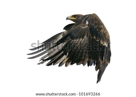 Hawk in flight -  isolated on a white background