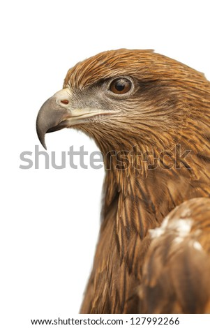 Hawk in isolated white background,