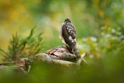 Hawk in the green forest habitat. Beautiful forest with bird. Bird of prey Eurasian Sparrowhawk, Accipiter nisus, sitting on tree stump, Slovakia, Europe.