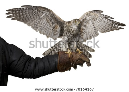 hawk isolated spreading wings - stock photo