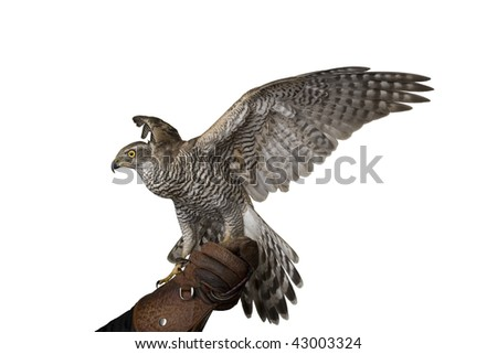 hawk isolated spreading wings. see more on my page