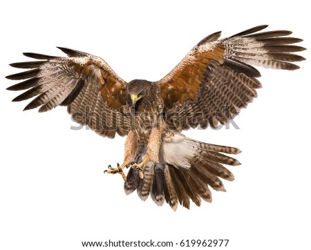Shutterstock Hawk landing hand draw and paint color on white background illustration.