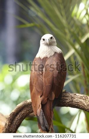Hawk on a tree