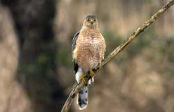 hawk on the branch, Cooper's hawk is a medium-sized hawk native to the North American continent and found from southern Canada to Mexico.