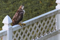 Hawk perched on fence in backyard with talons