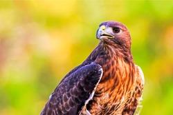 Hawk portrait. Hawk in nature