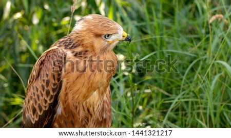 Hawk portrait with selective soft focus, on the background of green nature.