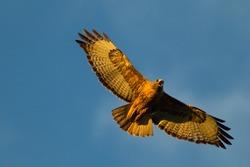Hawk Soaring At Sunset