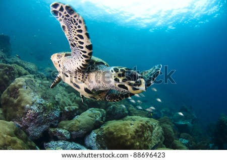 hawks-bill turtle swimming in deep blue water.  Coast of Brazil.