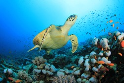 Hawksbill Sea Turtle (Eretmochelys imbricata) and coral reef with tropical fish