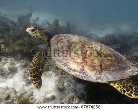 hawksbill sea turtle Eretmochelys imbricata ascending from sandy sea bottom