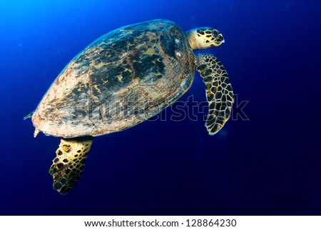 Hawksbill sea turtle (Eretmochelys imbricata) in deep blue, Red Sea, Egypt.