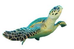 Hawksbill Sea Turtle (Eretmochelys imbricata) isolated on white background