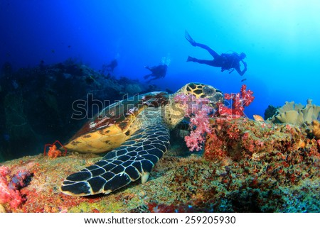 Stock Photo Hawksbill Sea Turtle feeds on coral with people scuba diving in background