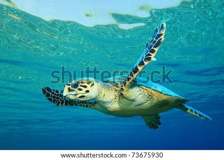 Hawksbill Sea Turtle in clear blue water - stock photo