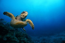 Hawksbill sea turtle swimming above the coral reef  - Riviera Maya, Mexico