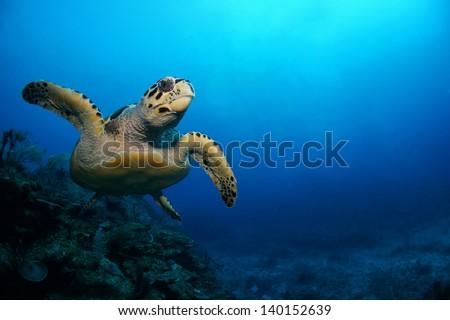 Shutterstock Hawksbill sea turtle swimming above the coral reef  - Riviera Maya, Mexico