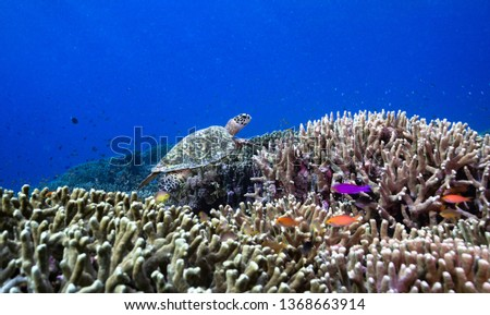hawksbill sea turtle swimming around coral reef with colorful reef anthias fish in Tubbataha Reefs national park in Philippines #1368663914