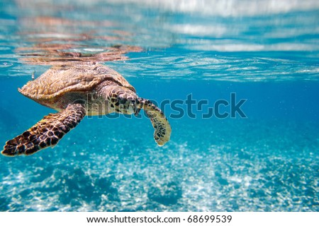 Hawksbill sea turtle swimming in Indian ocean in Seychelles