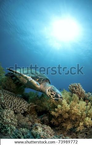 Hawksbill sea turtle swims in clear blue ocean