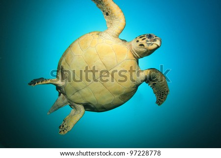 Hawksbill Sea Turtle up close with sun behind it