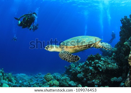 Hawksbill Turtle and Scuba Divers in the Red Sea