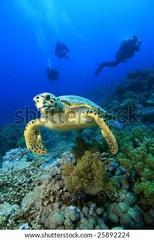 Hawksbill Turtle (Eretmochelys imbricata) and Scuba Divers