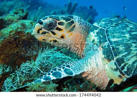 Hawksbill Turtle (Eretmochelys Imbricata) Close-up, Cozumel, Mexico
