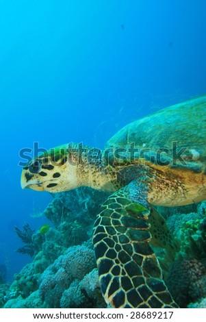 Hawksbill Turtle (Eretmochelys imbricata) eating Soft Coral