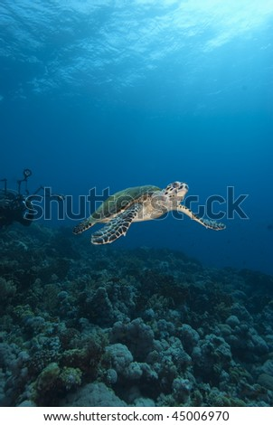 Hawksbill turtle (Eretmochelys imbricata), Endangered, Wide angle, front view, of a juvenile female pursued by an underwater photographer. Egypt.