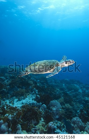 Hawksbill turtle (Eretmochelys imbricata), Endangered, Wide angle, side view, of a juvenile female swimming above the coral reef.  Jackson Reef, Straits of Tiran, Gulf of Aqaba, Red Sea, Egypt.