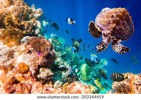 Hawksbill Turtle Eretmochelys imbricata floats under water Maldives Indian Ocean coral reef