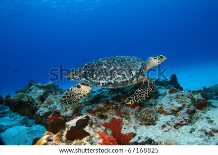 Hawksbill Turtle (Eretmochelys imbricata) swimming over a sandy bottom in the clear blue water of Cozumel Mexico