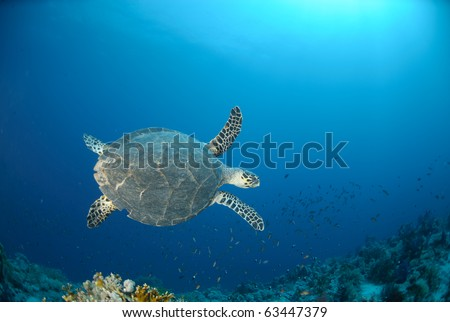 Hawksbill turtle (eretmochelys imbricata) Top view of animal swimming above coral reef . Red Sea, Egypt.