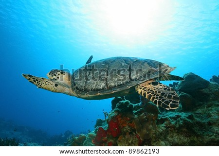 Hawksbill Turtle (Eretmochelys imbriocota) Swimming Over a Coral Reef - Cozumel Mexico