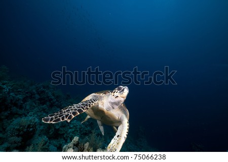 Hawksbill turtle in the Red Sea. #75066238