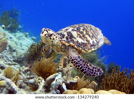 Hawksbill turtle swimming along tropical reef in the Caribbean, Bonaire