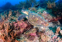 Hawksbill Turtle swimming over a tropical coral reef
