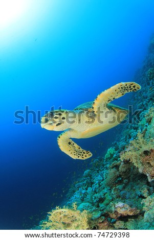 Hawksbill Turtle swims over coral reef