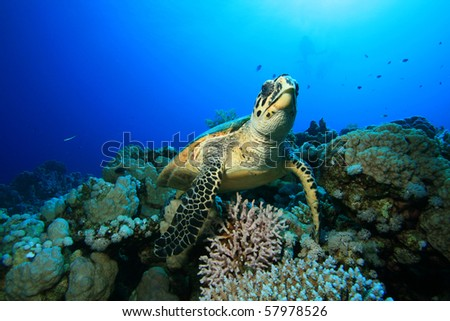 Hawksbill Turtle with distant scuba divers in background
