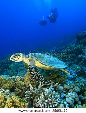 Hawksbill Turtle with Silhouette of Scuba divers in background