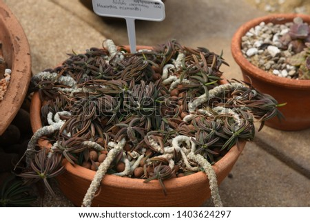 Haworthia  Succulent creepers, stems, short stems spread out into a halo. They are branching in large numbers, green sprouts when mature to brown. #1403624297