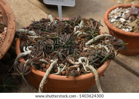 Haworthia  Succulent creepers, stems, short stems spread out into a halo. They are branching in large numbers, green sprouts when mature to brown. #1403624300