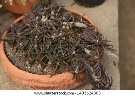 Haworthia  Succulent creepers, stems, short stems spread out into a halo. They are branching in large numbers, green sprouts when mature to brown. #1403624303