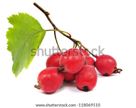 Hawthorn berries on a white background
