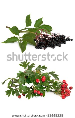 Hawthorn berry and elderberry fruit isolated over white background.