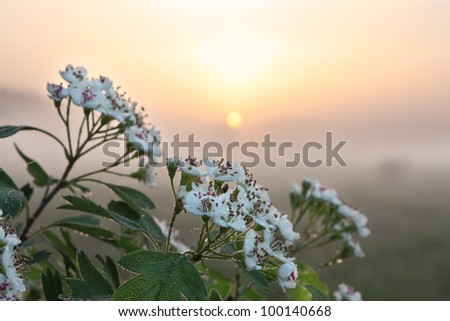Hawthorn blossom and morning mist.