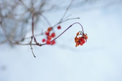Hawthorn bush branch close up with red berries in a snowy garden